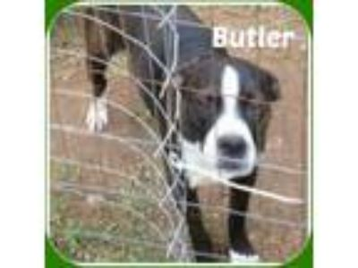 Adopt BUTLER a Black - with White Boston Terrier / Mixed dog in Malvern