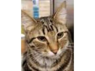 Adopt Sparky a Gray or Blue Domestic Shorthair / Domestic Shorthair / Mixed cat