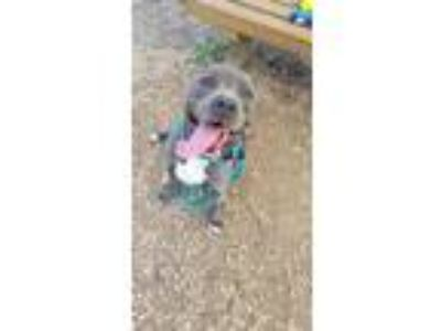 Adopt Chief a Pit Bull Terrier, Mixed Breed
