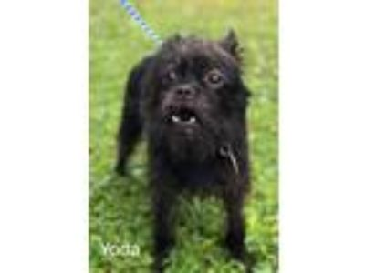 Adopt Yoda a Black Brussels Griffon / Mixed dog in Mohawk, NY (22691179)