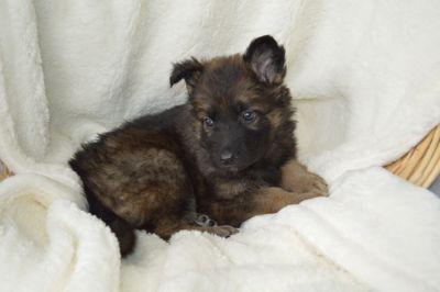 German Shepherd Dog PUPPY FOR SALE ADN-70286 - Trained German Shepherd Puppies AKC