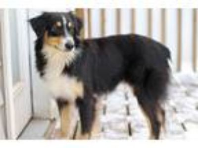 Adopt Nick a Tricolor (Tan/Brown & Black & White) Australian Shepherd / Mixed