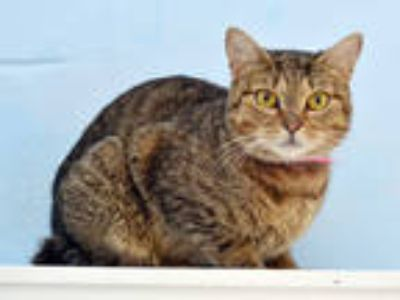 Adopt CROCKETTE a Brown Tabby Domestic Shorthair / Mixed (short coat) cat in