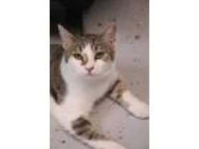 Adopt Curry a White Domestic Mediumhair / Domestic Shorthair / Mixed cat in New