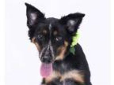 Adopt PETRI a Black - with Brown, Red, Golden, Orange or Chestnut Australian