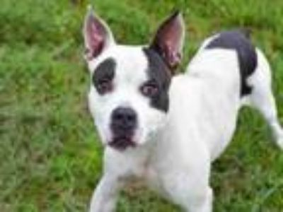 Adopt FOSTER a American Staffordshire Terrier