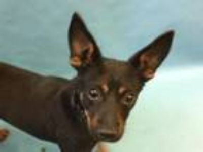 Adopt Ellaria a Miniature Pinscher, Mixed Breed