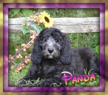 Panda Female Labradoodle F1b