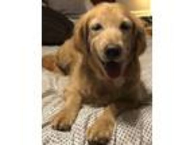 Adopt Emma a Golden Retriever