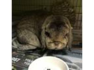 Adopt Henry a Chocolate Lop-Eared / Mixed (short coat) rabbit in Wheaton