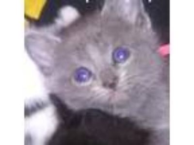 Adopt Cyprus a Gray or Blue Domestic Shorthair cat in Chaska, MN (25294604)