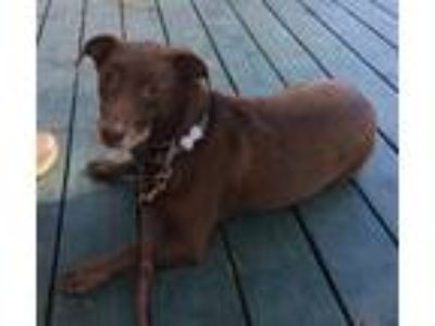 Adopt Frankie a Brown/Chocolate - with White Labrador Retriever / Dachshund /