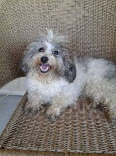 Bichonpoo adult female Polk County Fla