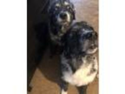 Adopt Tank & Ranger a Black - with White Australian Shepherd / Retriever