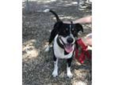 Adopt Willie Beagle/Fiest Mix 4 years old Male a Beagle, Feist