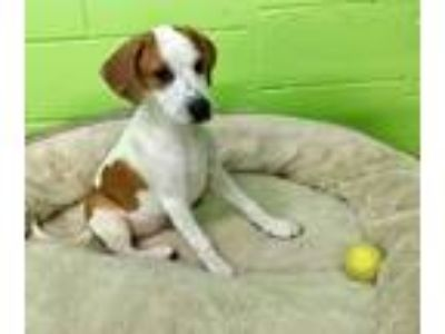 Adopt Magneto available 6/15/2019 a Hound, Mixed Breed