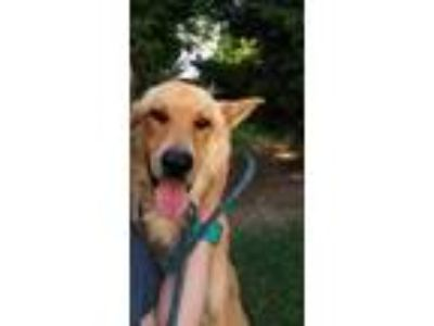Adopt Dexter a Red/Golden/Orange/Chestnut Shepherd (Unknown Type) / Mixed dog in