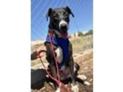 Adopt Dejavu a Black - with White Border Collie / Great Dane / Mixed dog in