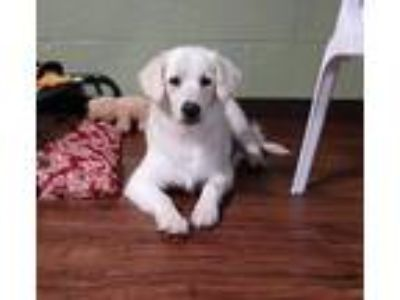 Adopt Sheeba a White Golden Retriever / Mixed dog in Weeki Wachee, FL (25342554)