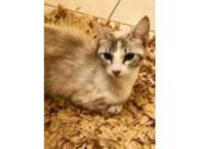 Adopt Cleopatra a Gray or Blue Siamese / Domestic Shorthair / Mixed cat in
