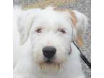 Adopt Bill a White - with Tan, Yellow or Fawn Petit Basset Griffon Vendeen /