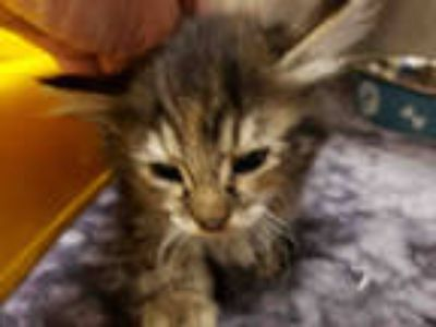 Adopt SHANIA a Brown Tabby Domestic Shorthair / Mixed (short coat) cat in