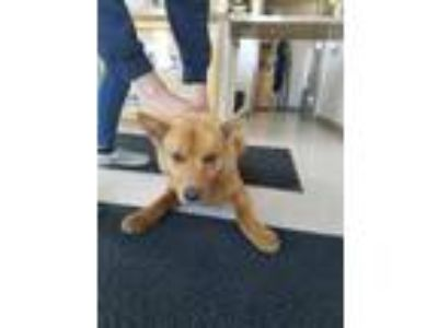 Adopt Louie a Chow Chow, Mixed Breed