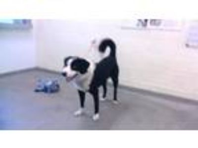 Adopt ARTIE a Border Collie, Mixed Breed