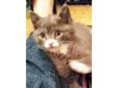 Adopt Frog a Gray or Blue Domestic Shorthair / Domestic Shorthair / Mixed cat in
