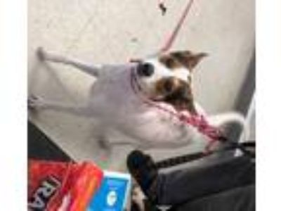 Adopt SPEAR a Brown/Chocolate - with White Jack Russell Terrier / Mixed dog in