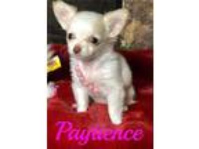 AKC Registered Super Tiny Longhair Chihuahua Babies