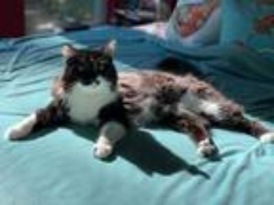 Adopt Tundra a Black & White or Tuxedo Domestic Longhair (long coat) cat in The