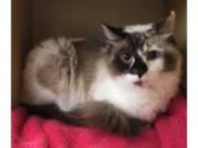 Adopt Xena a Brown or Chocolate Domestic Longhair (long coat) cat in Salem