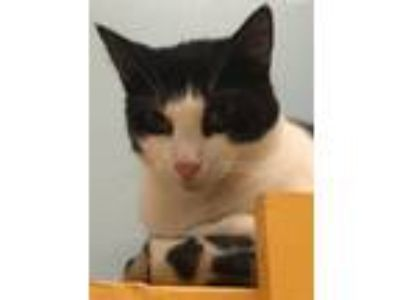Adopt McGee a Domestic Short Hair