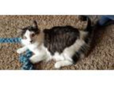 Adopt Ford a Maine Coon