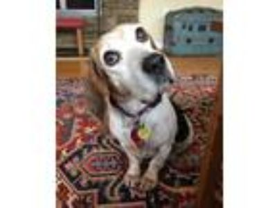 Adopt Ethel Daviess a Tricolor (Tan/Brown & Black & White) Beagle / Mixed dog in