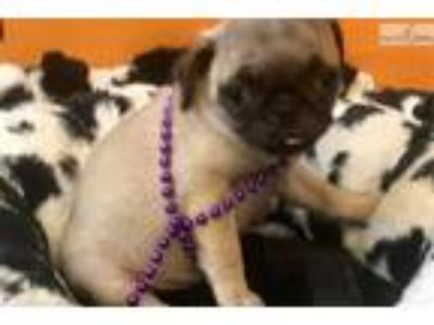 Moana Cute Pug for sale Bayside Flushing Queens NY