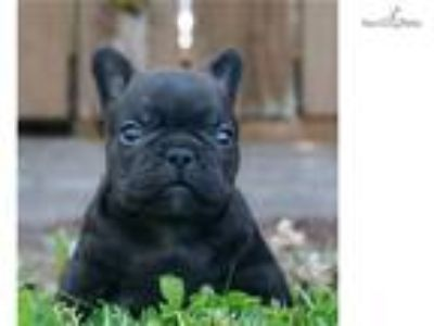 Vette AKC Champion Line Frenchie Pupy Super Nice!