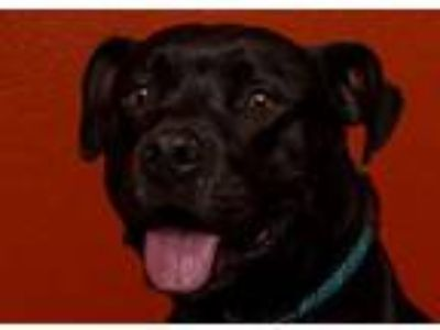 Adopt Pepper a Pit Bull Terrier, Labrador Retriever