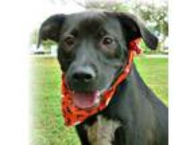 Adopt Loki a Black Retriever (Unknown Type) / Mixed dog in Irmo, SC (23423171)