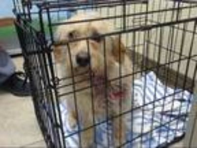 Adopt a Tan/Yellow/Fawn Cairn Terrier / Mixed dog in Houston, TX (25333041)