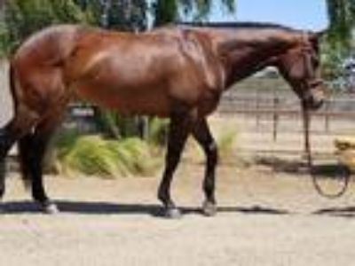 Price Reduced Good I Will Be Mare Offered for Sale