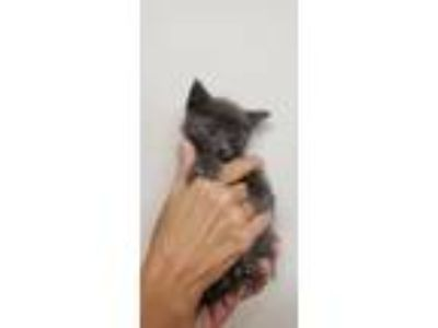Adopt Mars a Domestic Short Hair