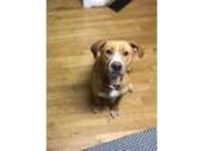 Adopt Honey a Hound (Unknown Type) / Mixed dog in Raleigh, NC (24737913)