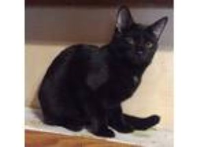 Adopt Raisin a Domestic Short Hair