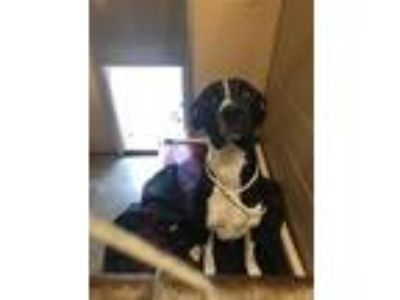 Adopt Duke a Pointer / Pit Bull Terrier / Mixed dog in Fall River, MA (25881992)