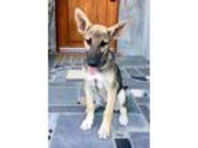 Adopt DINGO a German Shepherd Dog, Shepherd