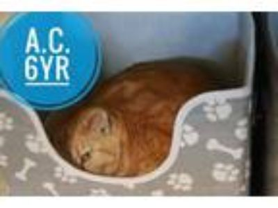 Adopt A.C. a Domestic Short Hair