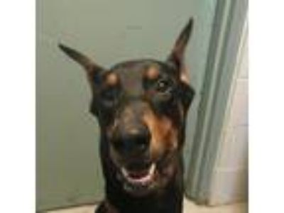 Adopt TUSC-Stray-tu4066 a Black Doberman Pinscher dog in Tuscaloosa