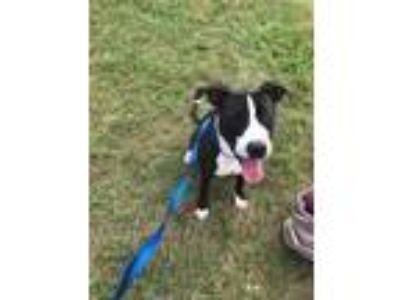 Adopt ADOPTED-Cahira a Black American Pit Bull Terrier / Mixed dog in Fort